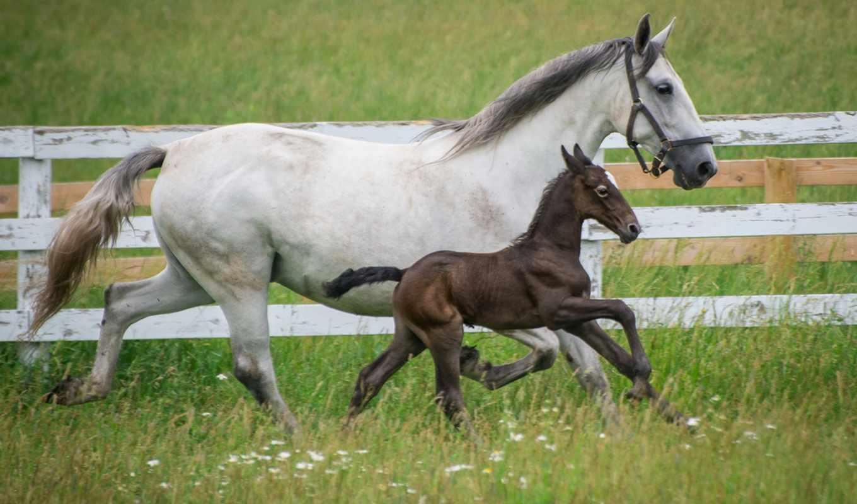 была, выведена, веке, еще, порода, австрии, танцоры, липпицианские, лошади, прирождённые,