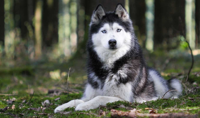 хаски, собака, щенок, animal, картинка, собаки, животные, природа,