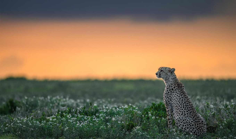 гепард, природа, дикая,