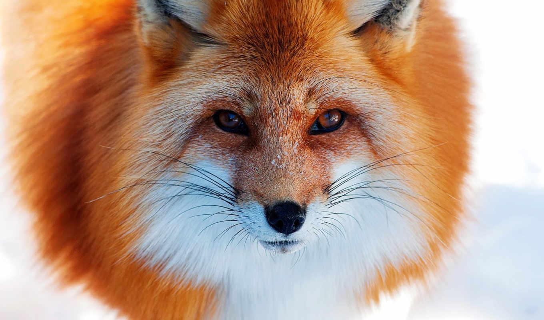 фокс, снег, winter, zhivotnye, рыжая, лисы,