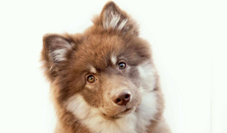 собака, собаки, финский, морда, смотреть, хаски, оленегонная, фото, зооклубе, лаппхунд, финская,