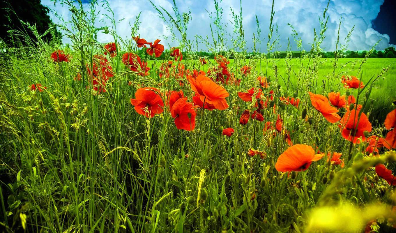 природа, цветы, маки, поле,