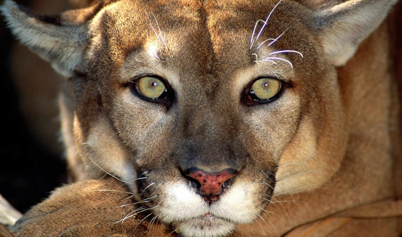 кошки, большие, биг, cats, wild, кошек, дикие,