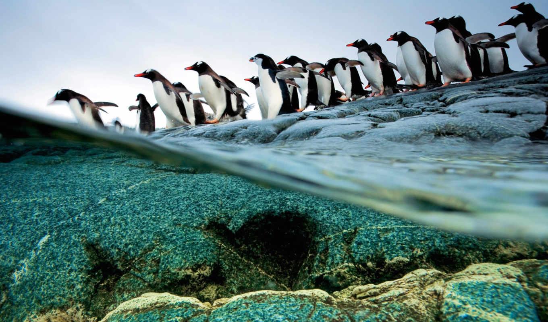 забавные, pinguinos, пингвины,