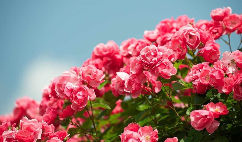 розы, bush, цветы, красиво, небо, розовые, резкость, живые,