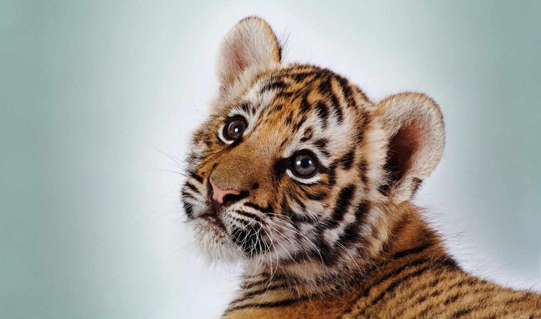 tiger, cub, animal, wallpapers, hd, тигр, симпатичный, galerie, cute, тигренок, desktop, wallpaper,