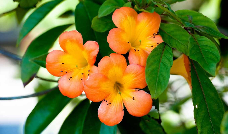 цветы, оранжевые, лепестки, оранжевый, разрешении,