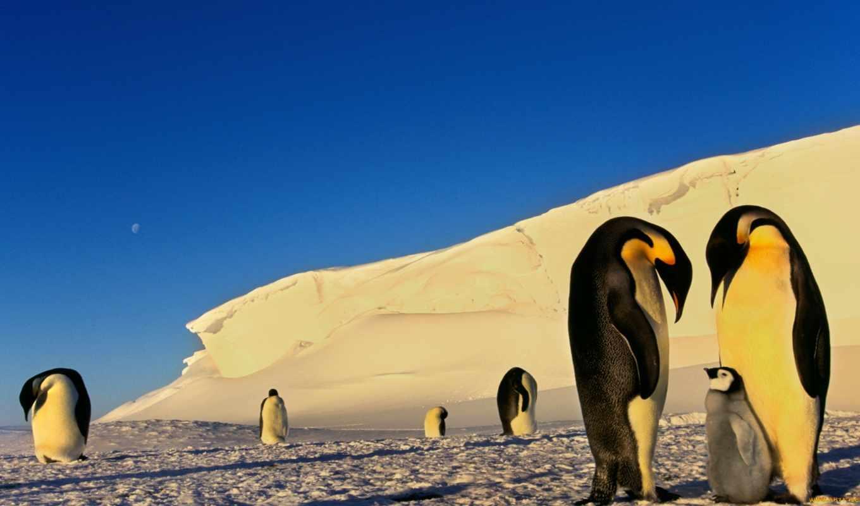 пингвины, снег, зима, антарктика,