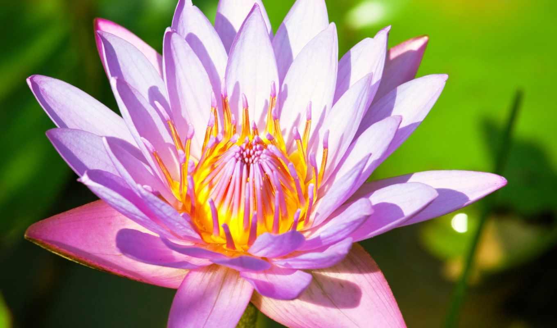 lotus, цветы, lily, розовый, розовая, water,
