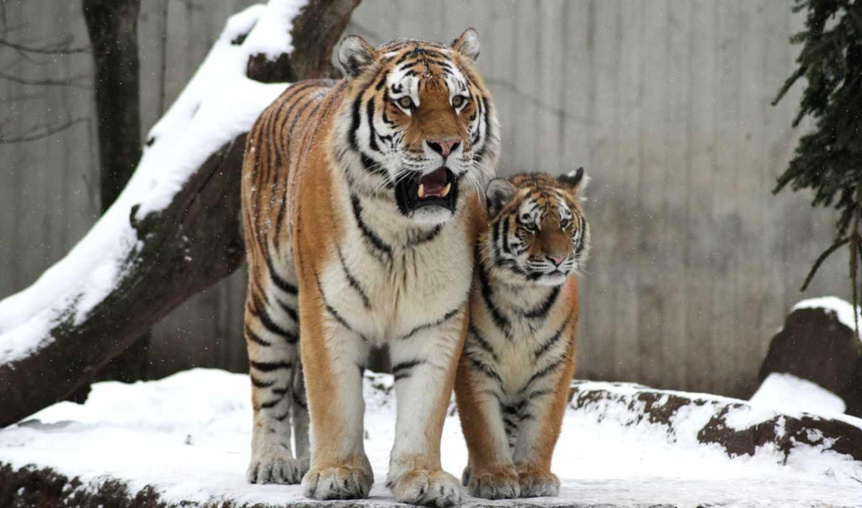 тигр, кот, amur, тигрица, картинка, детёныш,