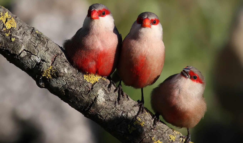 птицы, branch, трио, красные, zhivotnye,