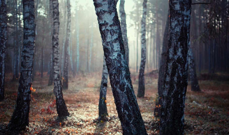 birch, , nature, wood,