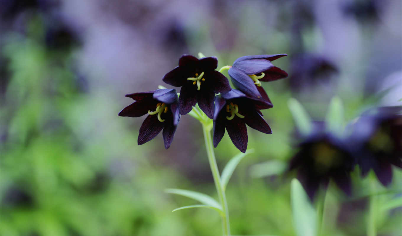темная, цветок, зелень, лилия, фото, chocolate,