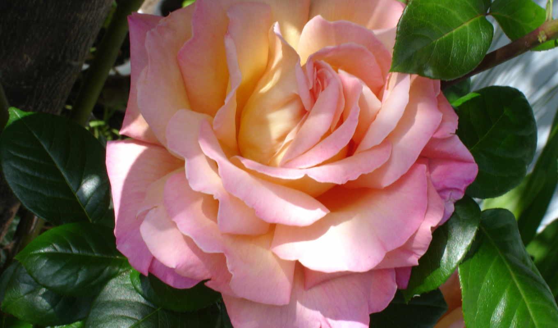 цветы, розы, розовый, букеты,