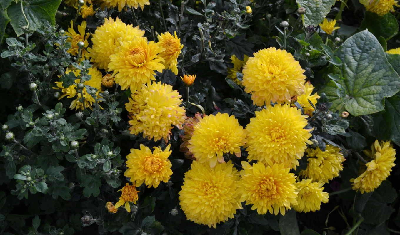 flowers, desktop, цветы, фото, chrysanthemums, количество, many, gratis, много,