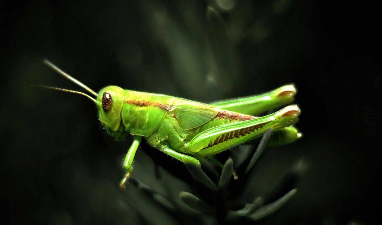 zielony, konik, polny, stronie, znajdziesz, zwierzętach, świata, strona, zweirzęta,