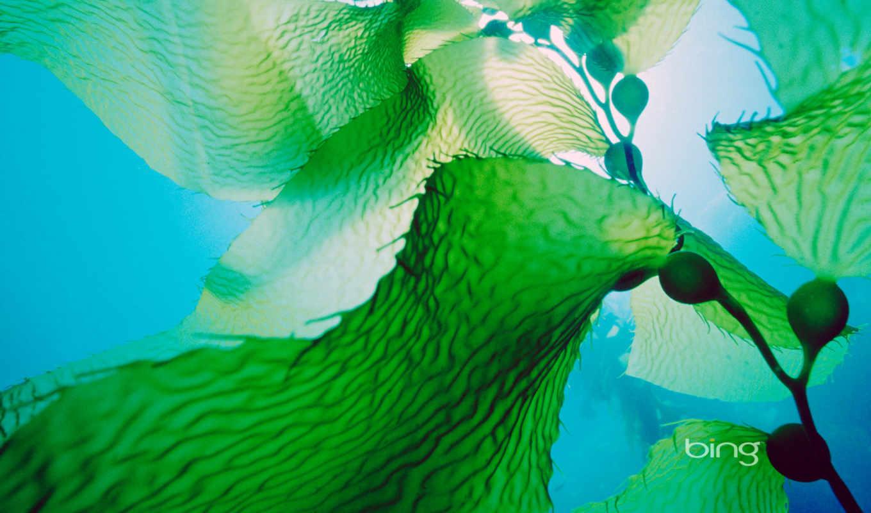 kelp, seaweed, гигант, images, изображение, bing, are, like, море, algae,