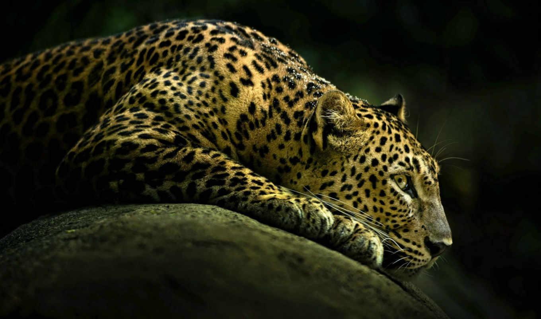 кот, леопард,