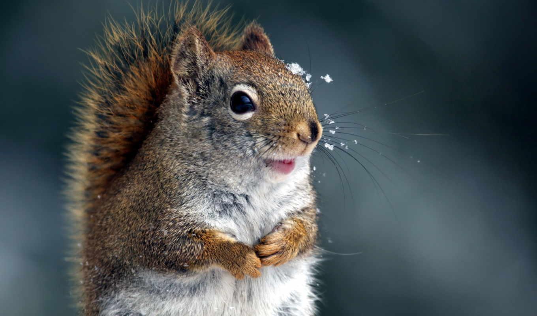 белки, winter, лапки, глаза,