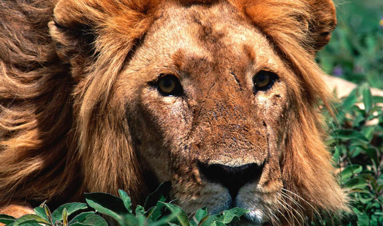фотографии, lion, животные, большие, тигр, тигры, львы, ниже, тигром,