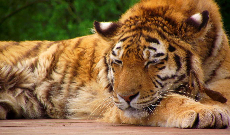 спит, тигр, морда, лапы, тигрёнок, качестве,