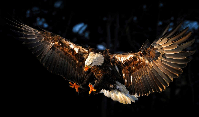 орлан, птица, крылья, небо,