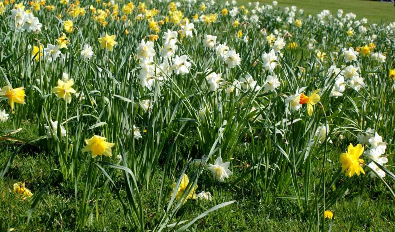 cvety, нарциссы, positive, солнечно, розы, красивые, букет, трава, газон,