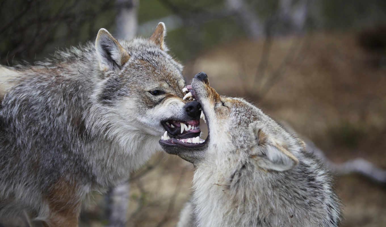 волки, волк, ago,