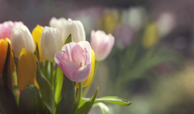 цветы, тюльпаны, нежные, поле, коллекция,