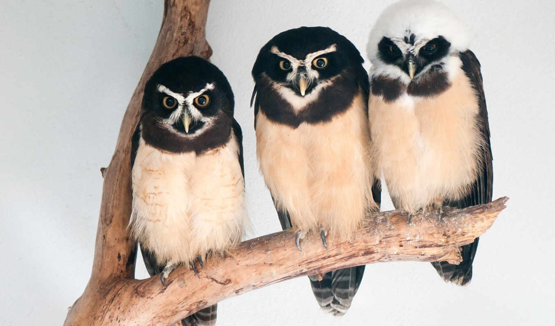 branch, birds, совы, зелёный, сова, лепестки, owls, птица, весна,
