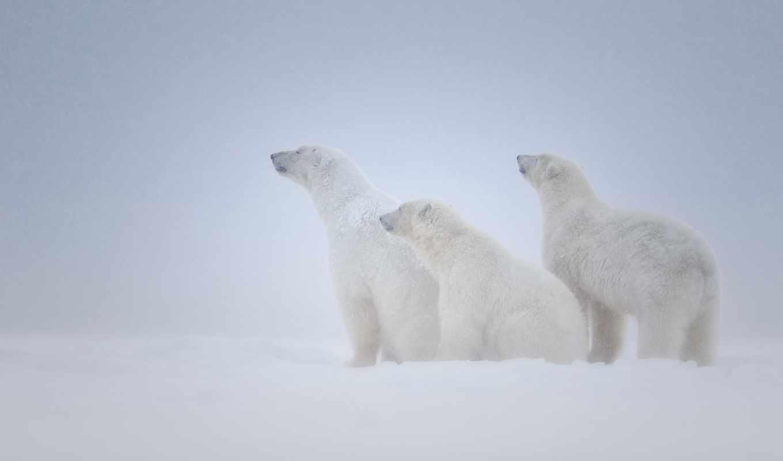 медведь, polar, desktop, free, widescreen,