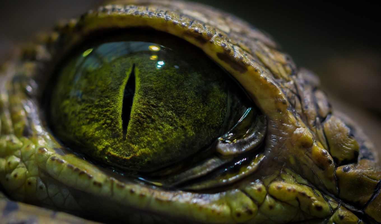 крокодила, глаз, свет, zhivotnye, лучшая, коллекция, загружено, макро, крупным,