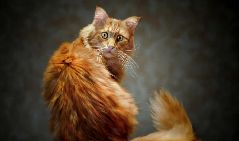 обои, кот, кошки, фото, рыжий, глаза, коты, красив