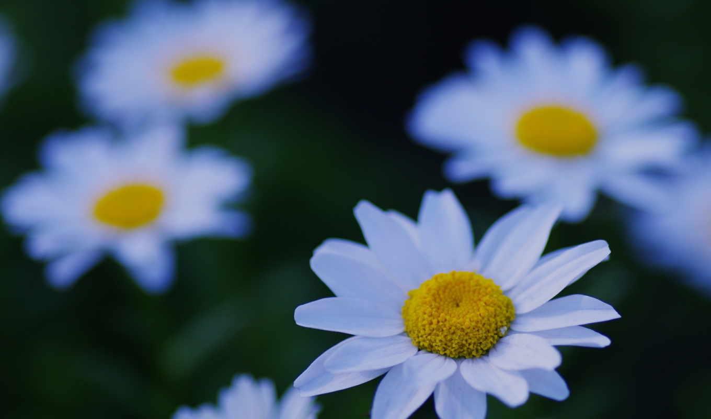 белый, природа, ромашка, цветок, ромашки, поляна, лепестки, макро, фокус, растения,