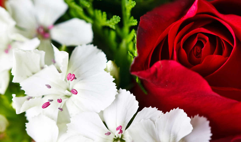 flowers, colorful, картинку, çiçekler, rengarenk, роза, desktop, макро, resolution, лепестки, красная, белые, background, download, кнопкой, white, send, мыши,
