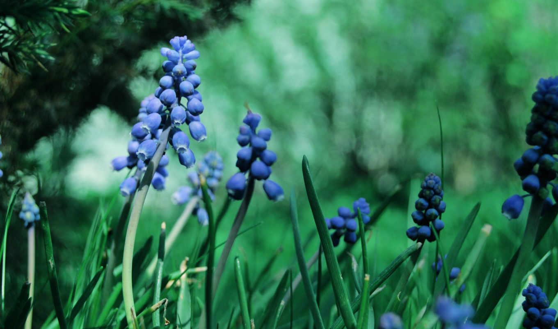 цветы, синие, мускари, растительность, макро, трава,