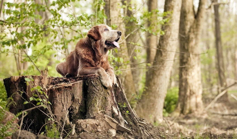 ретривер, собака, les, priroda, золотистый, золотистый, перо, собаки,