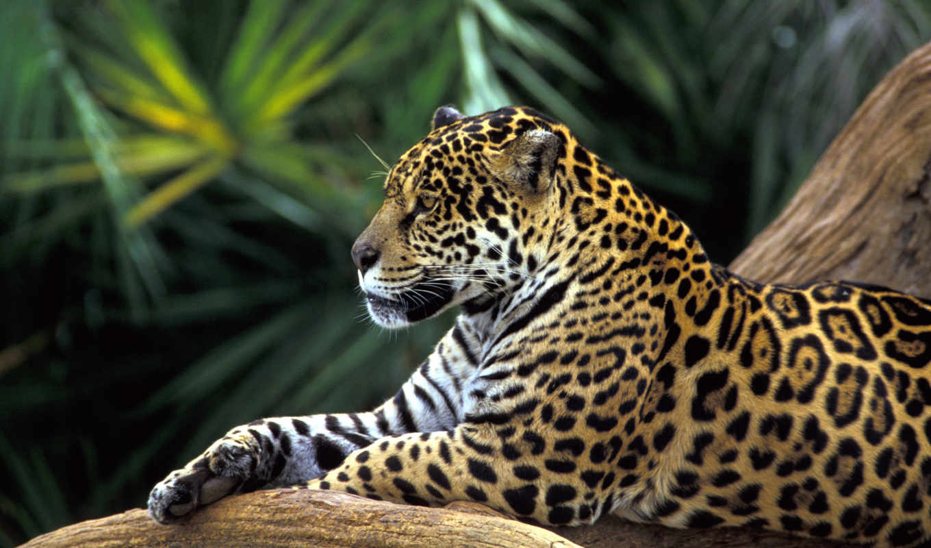 amazon, brazil, rainforest, jaguar,