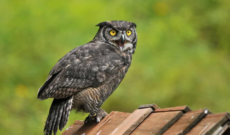 сова, horned, great, desktop, птица,