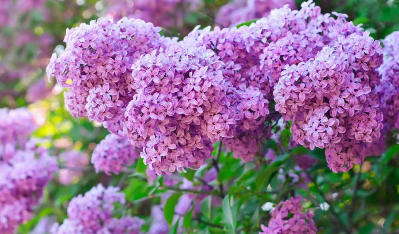 цветы, сиреневый, растение, собака