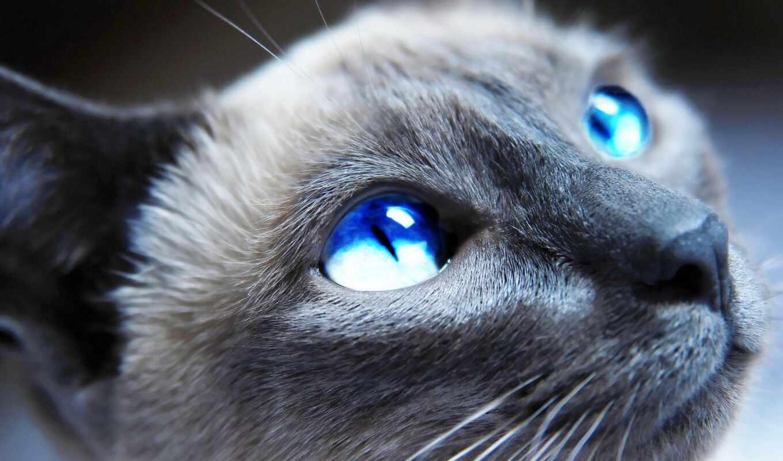 обои, голубые, глазами, глаза, голубыми, кот, кошк