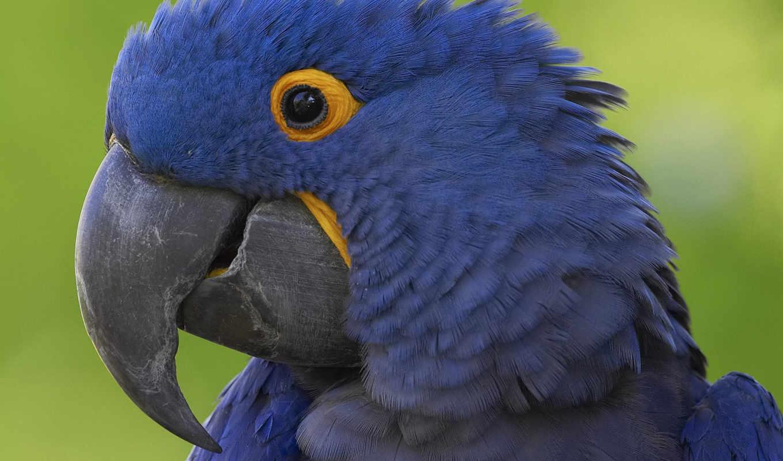 синий, попугай, клюв,