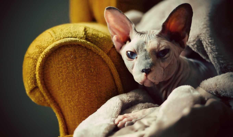 сфинкс, кот, взгляд,