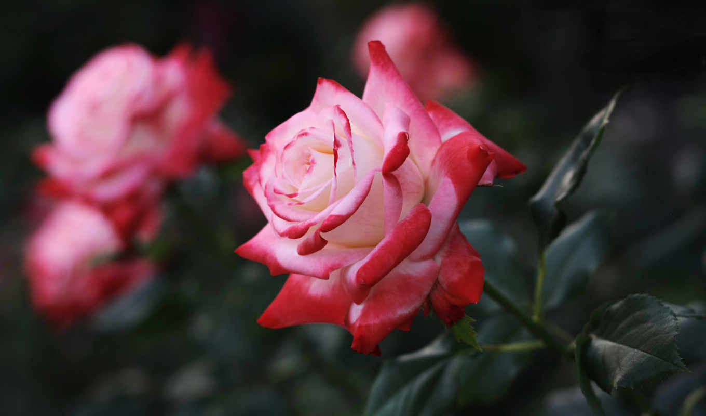 love, flowers, роза, life, this,