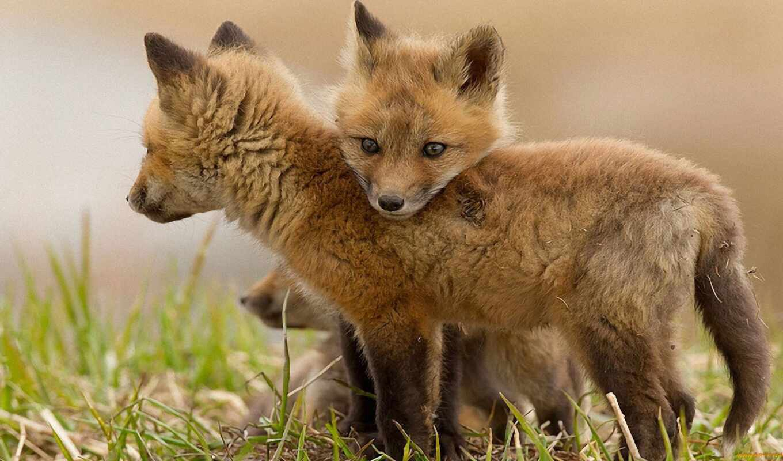 zhivotnye, забавные, милые, зверушки, лисята, трава, прикольные, лисица, фокс, смешные, приколы,