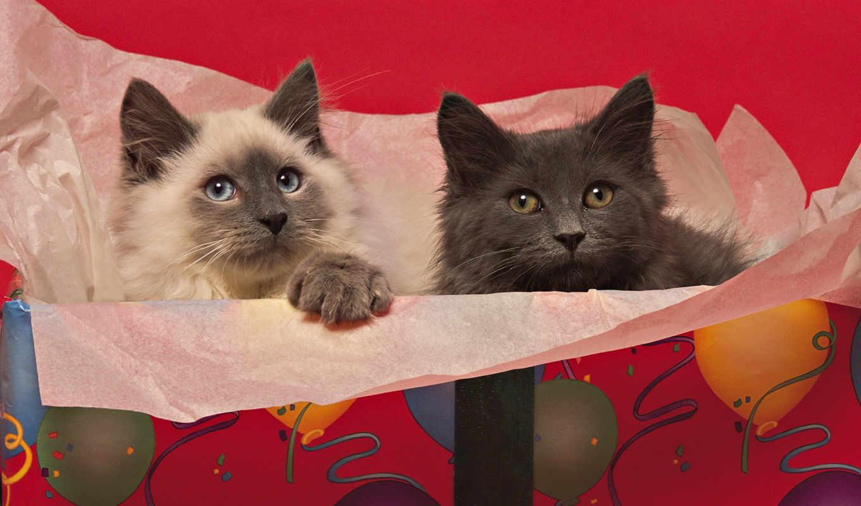 котята, пушистые, белый, quot, обои, кот, манеже,