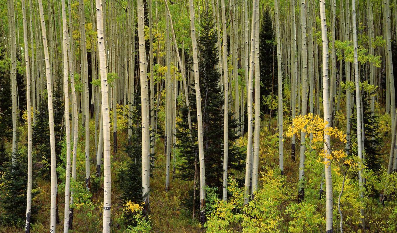 forest, duvar, aspen, grove, colorado, national, uncompahgre, islamic, yeni, kağıtları, nature, đẹp,
