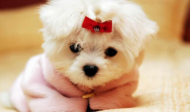 щенок, собаки, красный, бантик, милая,