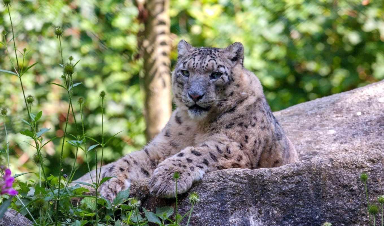 леопард, снег, ирбис, животные, отдых, категории, кот,