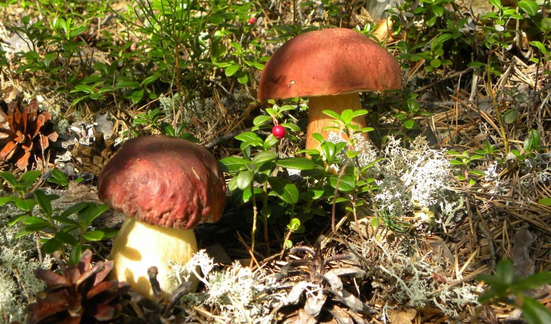 грибы, mushroom, white, осень, лес, трава, природа, макро,